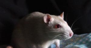 Новое вещество останавливает кариес у лабораторных крыс